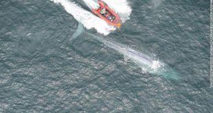 باحثون يضعون علامة شفط كأس على حوت أزرق في خليج مونتيري