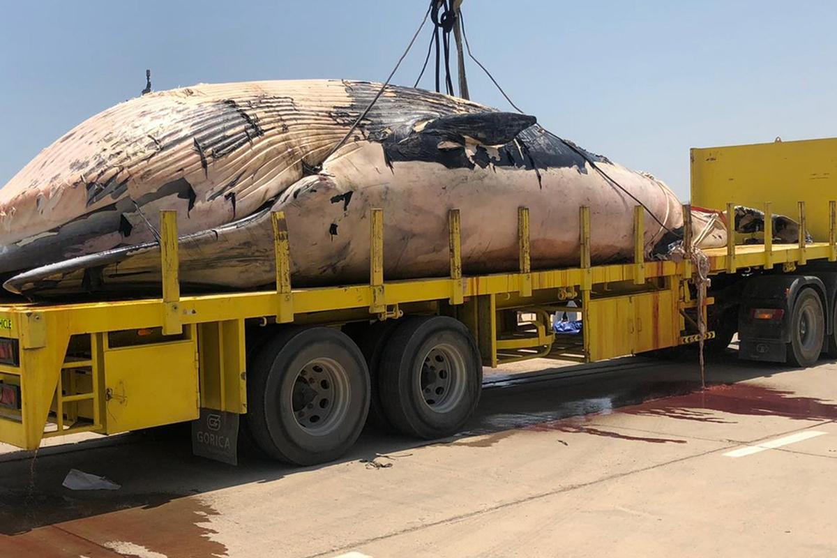 الحوت الضخم النافق في الكويت