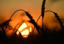 Photo of العراق يكتفي ذاتيًا من القمح