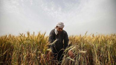 مصر و الأردن ضمن الدول الأكثر تخزينًا لحبوب القمح لمواجهة كورونا