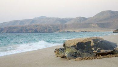 تعتبر محمية السلاحف في رأس الحد واحدة من أهم ثلاث محميات عالمياً