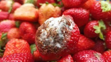 عفن الفاكهة و الخضروات