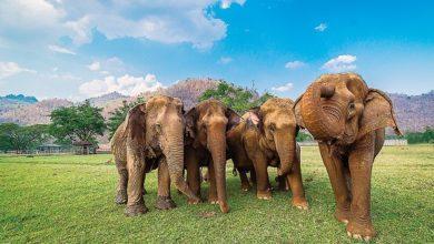 حماية الفيلة